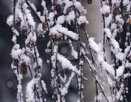 Snow on twigs stock photo, Snow on a weeping birch by Sharron Schiefelbein