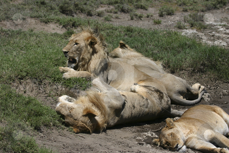 Lions resting stock photo, A pride of lions resting during the day by Sharron Schiefelbein