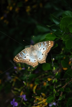 Butterfly stock photo, White peacock butterfly with a blue tint by Charles Bacon jr