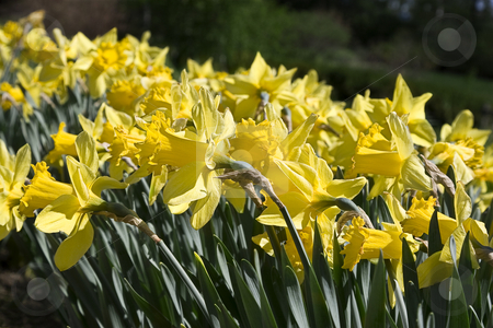 Garden of daffodils stock photo, Garden filled with yellow daffodils by Yann Poirier