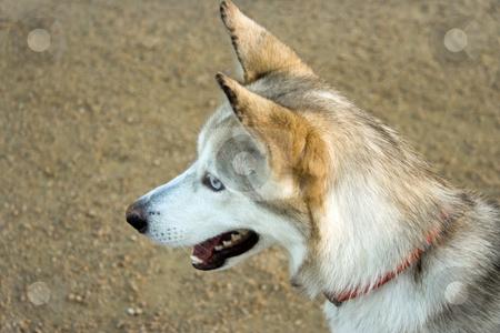 Husky Portrait stock photo, A blue eyed Alaskan husky portrait by Kevin Tietz
