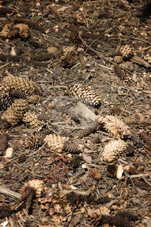 Dry pine cone stock photo, Dry pine cone decomposing on the ground by Yann Poirier