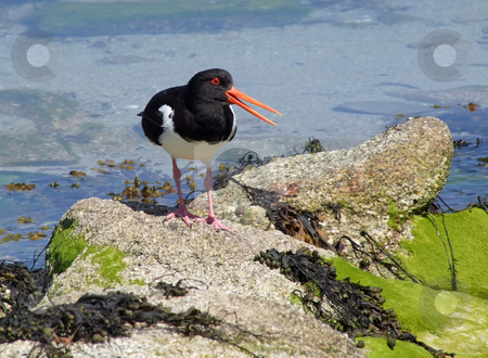 Oystercatcher with an open beak, Isles of Scilly, UK. stock photo, Eurasian Oystercatcher (Haematopus ostralegus) with an open beak, Isles of Scilly, UK. by Stephen Rees