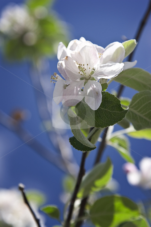 White flower stock photo, Close up of an white apple tree flower by Yann Poirier