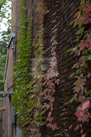 Urban vine stock photo, Vine growing on the side of a buidling, changing color due to fall by Yann Poirier