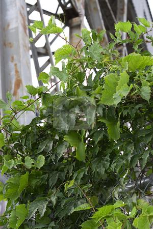 Vine in the city stock photo, Grape vine growing in an urban setting by Yann Poirier