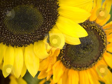 Sunflowers stock photo, Two sunflowers in bright yellow and orange. by Ignacio Gonzalez Prado