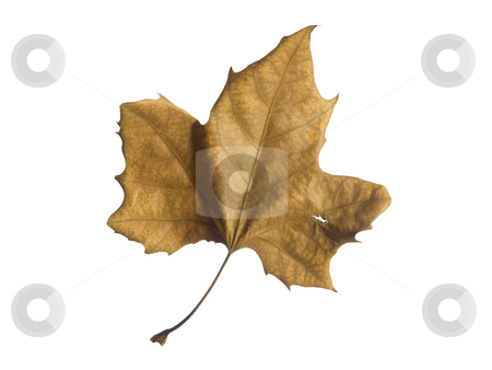 Fall leaf stock photo, A single autumn leaf isolated over a white background. by Ignacio Gonzalez Prado