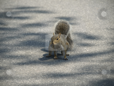 Grey squirrel stock photo, A grey squirrel ready to run across the street. by Ignacio Gonzalez Prado