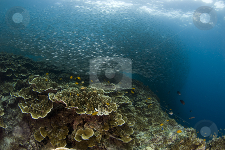 Reef Baitball stock photo, Baitfish form a large ball above the coral of a Philippine reef by A Cotton Photo