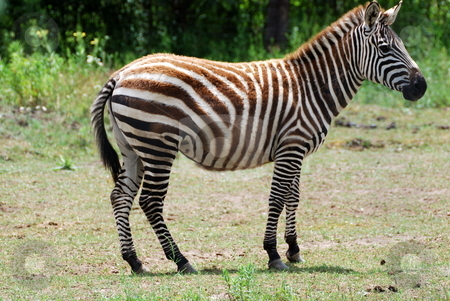 Zebra stock photo, Zebra by Tim Elliott