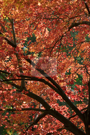 Red leaves stock photo, Tree fill with red leaves at fall time, backlit by an afternoon sunlit by Yann Poirier