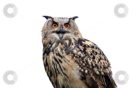 Eagle Owl stock photo, Closeup of an Eagle Owl isolated on a white background. by Megan Lorenz