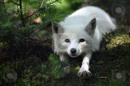 Stretch stock photo, Arctic Fox stretching in Newfoundland, Canada. by Megan Lorenz