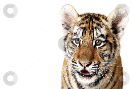 Siberian Tiger Cub stock photo, Studio portrait of a Siberian Tiger Cub isolated on a white background. by Megan Lorenz
