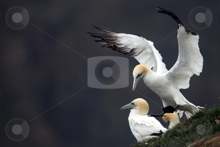Always Land On Your Feet stock photo, Northern Gannet landing at a colony in Cape St. Mary's, Newfoundland. by Megan Lorenz