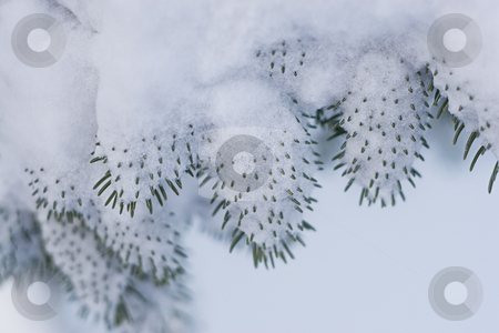 Snowed needle stock photo, Close up view of some pine needle covered with snow by Yann Poirier