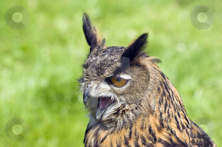 Eurasian Eagle Owl stock photo, Close up of a Eurasian Eagle Owl (Bubo bubo) by Stephen Meese