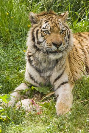 Amur Tiger stock photo, Closeup of Amur Tiger (Panthera tigris altaica) by Stephen Meese