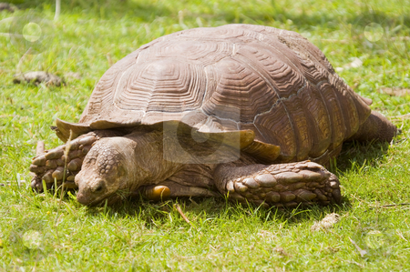 African Spurred Tortoise stock photo, Closeup of African Spurred Tortoise (Geochelone sulcata) by Stephen Meese