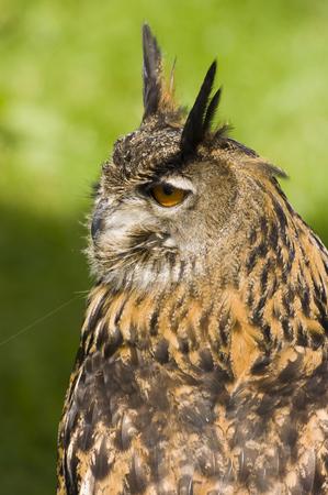 Eurasian Eagle Owl stock photo, Close up of a Eurasian Eagle Owl (Bubo bubo) by Stephen Meese