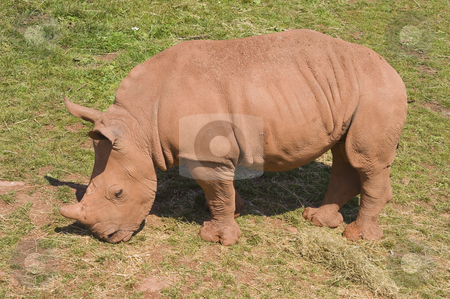 Baby White Rhinoceros stock photo, Closeup of baby White Rhinoceros (Ceratotherium simum simum) by Stephen Meese