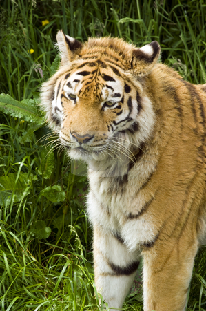 Amur Tiger stock photo, Closeup of Amur Tiger (Panthera tigris altaica) by Stephen Meese