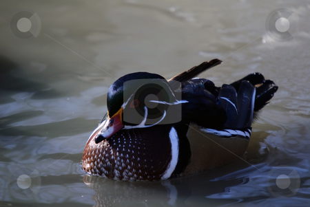 Wood Duck stock photo, Picture of a beautiful Wood Duck swimming in a pond by Alain Turgeon
