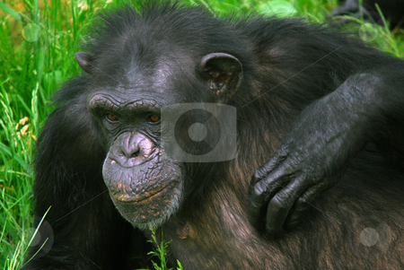 Common Chimpanzee stock photo, Closeup picture of a Common Chimpanzee at rest by Alain Turgeon