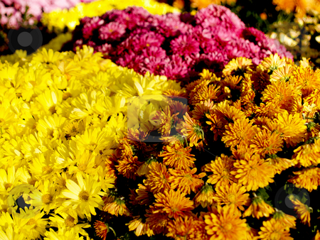 Fall flowers stock photo, A floral background with several colors of mums. by Cora Reed