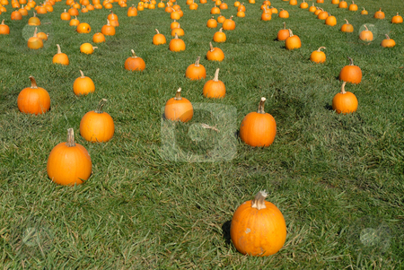 Pumpkins stock photo, Pumpkins spread out in a field of grass by Harris Shiffman