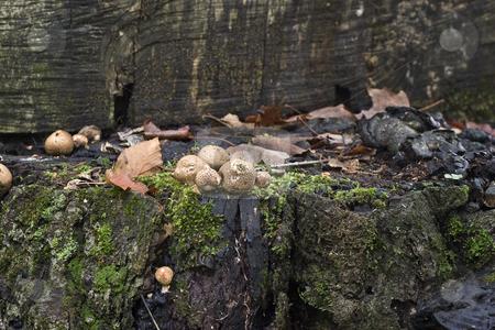 Wild forest mushroom stock photo, Wild forest mushroom attach to a wood log by Yann Poirier