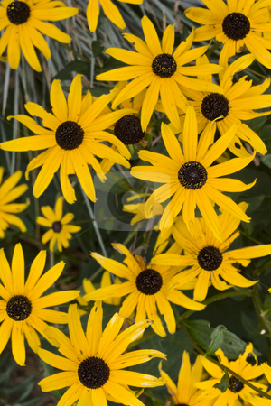 Wild daisy stock photo, Yellow daisys growing in the wild by Yann Poirier