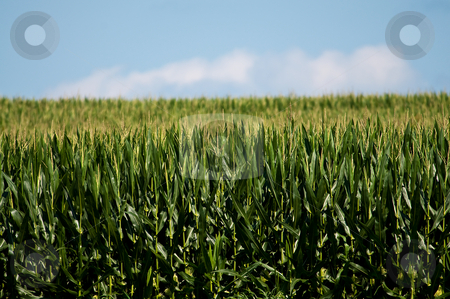 Corn Field stock photo,  by W. Paul Thomas