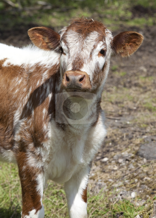 Inquisitive calf stock photo, English long horn calf by Mike Smith