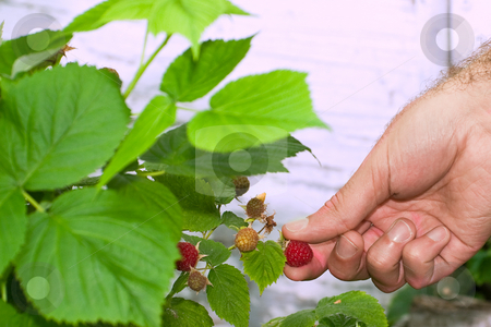Raspberry Picking stock photo, Closeup view of a male hand about to pull off a ripe raspberry from the plant by Richard Nelson