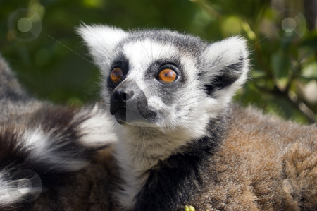 Ring Tailed Lemur stock photo, Close up of Ring Tailed Lemur (Lemur catta) by Stephen Meese