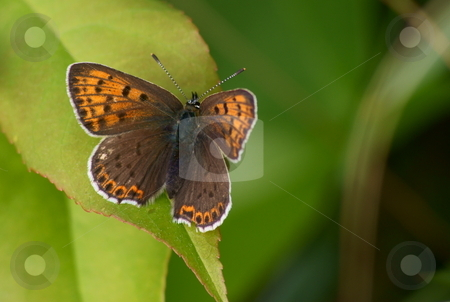 Orange butterfly stock photo, Orange butterfly on green leaves. by Rados?