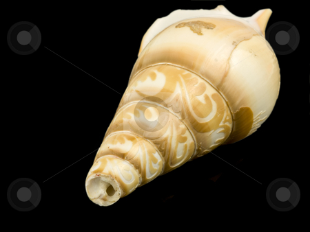 Sea Shell stock photo, Sea shell close up on a black background by John Teeter