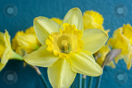 Yellow Daffodils stock photo, Yellow Daffodils with a close up of the center.  Flowers are in front of a green background for contrast. by Joseph Jenkins