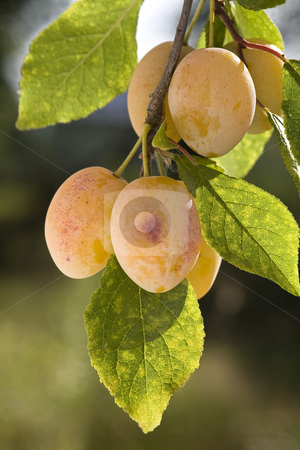 Yellow plums on branch stock photo, Group of yellow ripe plums on branch. by Valery Kraynov