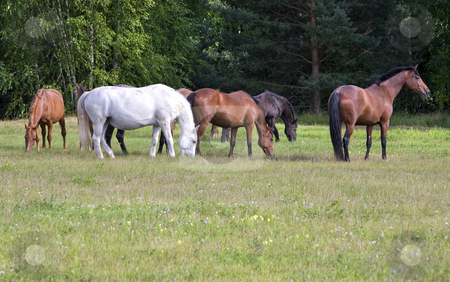 Herd of horses on a meadow stock photo, Herd of horses on a meadow near the forest by Valery Kraynov