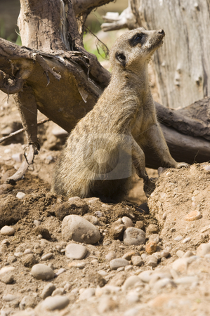 Meerkat stock photo, Close up of a Meerkat (suricata suricatta) by Stephen Meese