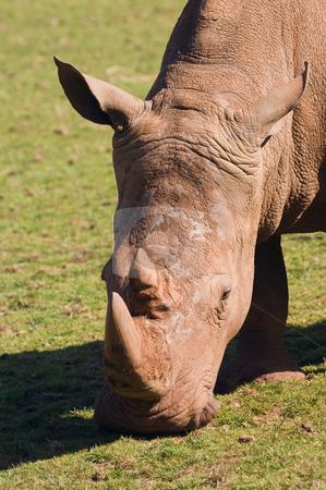 White Rhinoceros stock photo, Closeup of White Rhinoceros (Ceratotherium simum simum) by Stephen Meese