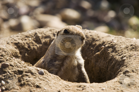 Prairie Dog stock photo, Closeup of Black-tailed Prairie Dog (Cynomys ludovicianus) by Stephen Meese