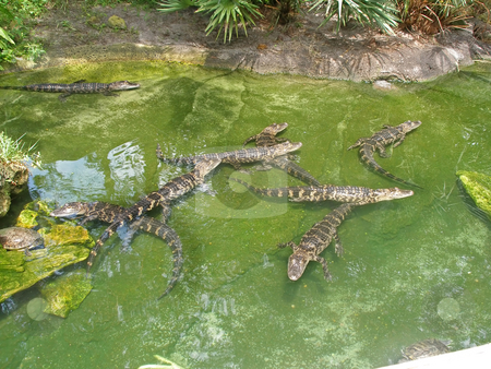 Alligator stock photo, Alligators swimming in water in Florida. Also a Turtle. by Lucy Clark