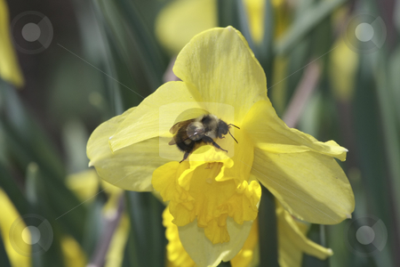 Bumble Bee pollinating flowers stock photo, Bumble Bee pollinating flowers by Sharron Schiefelbein