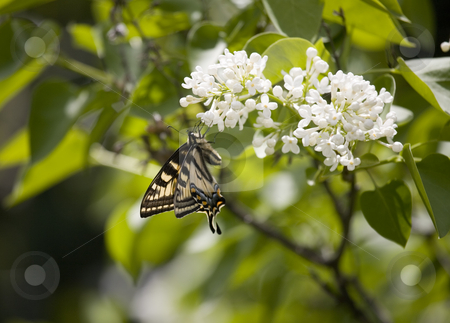 Swallowtail butterfly on Lilac stock photo, Swallowtail butterfly on Lilac by Sharron Schiefelbein