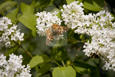 Butterfly on white flowers stock photo, Butterfly on white flowers by Sharron Schiefelbein