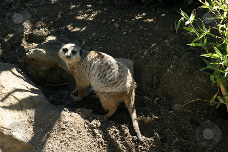 Meerkat stock photo, The meerkat or suricate is a small mammal and a member of the mongoose family. by Henrik Lehnerer